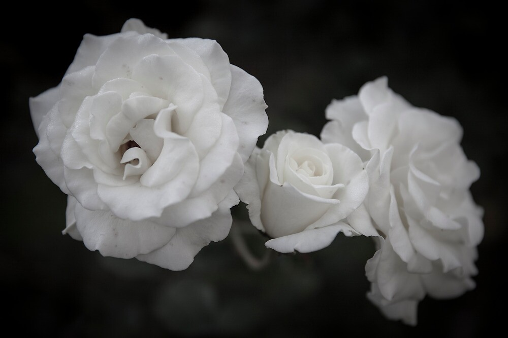 Three White Roses by dioptrewho