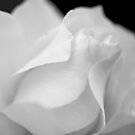 The White Rose by Brian Gaynor