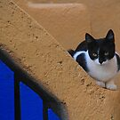 Santorini Kitty by Barbara  Brown