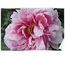 Pink & White Peony Poster