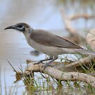 A Little Friarbird at the Waterhole on Bowra Station by Alwyn Simple