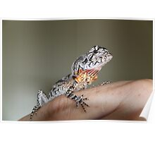 Baby Frill Necked Lizard Poster