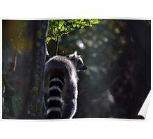 Ring Tailed Lemur Bum Poster