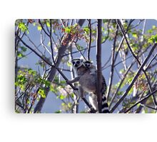 Ring Tailed Lemur, Mother And Baby Canvas Print