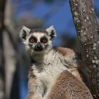 I'm A Ring Tailed Lemur by Sauropod8