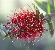 Australian Red Bottlebrush by Wendy Sinclair