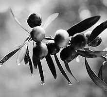 Olives in the rain by Paul Pasco
