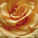 Gold Rose In Full Bloom by edesigns14