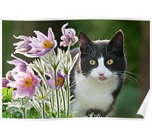 Cat looking through pasque flowers Poster