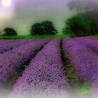 Lavender Fields by naturelover