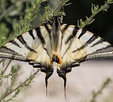 Scarce Swallowtail by Hugh J Griffiths