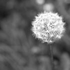 Delicate Dandelion by Jamie Candlin