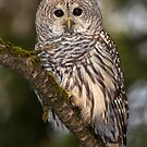 Barred owl by jamesmcdonald