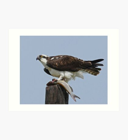 Osprey with Fish Art Print
