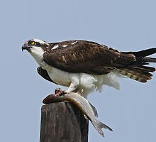 Osprey with Fish by photosbyjoe