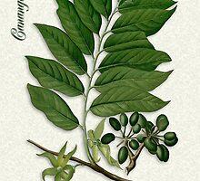 Botanical illustration of Ylang Ylang by Irisangel