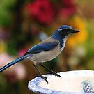 WEST COAST BLUEBIRD by RoseMarie747