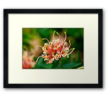 Grevillea ~ Apricot Tingle Framed Print