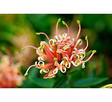 Grevillea ~ Apricot Tingle Photographic Print