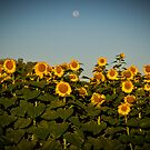 Sunflowers At Sunrise by photodug