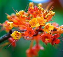Saraca asaca blossoms by Renee Hubbard Fine Art Photography
