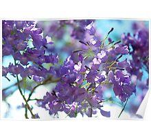 Jacaranda blossoms Poster