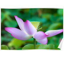 Good Fortune ~ Lotus flower Poster