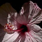 hibiscus by sedge808