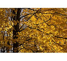 Golden Ontario Autumn Photographic Print