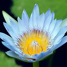 Waterlily by Sandy1949