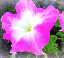 Two toned Petunia looks pretty by EdsMum