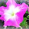 *Feature Page/Petunias - Challenge