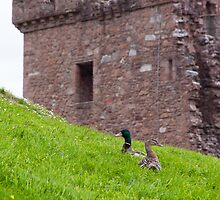 Urquhart Ducks by Adrian Alford Photography