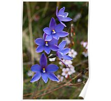 Thelymitra ixiodes Poster
