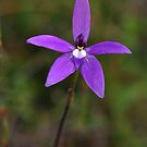 Glossodia major by Kate Hibbert