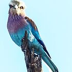 Lilac breasted roller by Linda Sparks