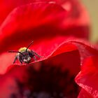 Bee sitting on a poppy flower by kerryvarnum