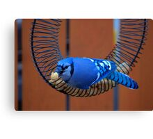 BlueJay @ the Feeder Canvas Print