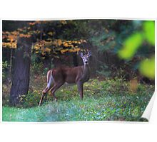 Whitetail Stare Poster
