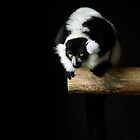 Black-and-White Ruffed Lemur by Richard Hepworth