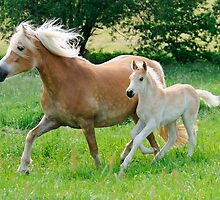 Haflinger mare with foal running  by Katho Menden
