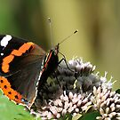 Red Admiral by Paulo van Breugel