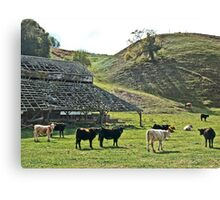 Old Barn Cows Canvas Print