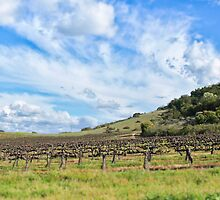 Santa Pietra vineyard by Denise Baker