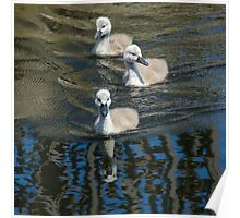 Cygnets on the move Poster