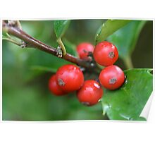Red Berries and Holly Leaves  Poster