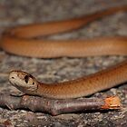 Northern Brown Snake by Kane Slater