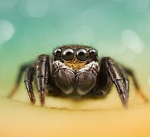 Salticidae (Unknown I.D) by Kerrod Sulter
