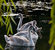Cygnets by Audid00dy