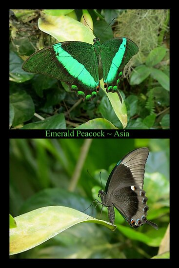 Emerald Peacock~ Collage by Kimberly Chadwick